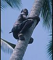young man climbing palm tree for weaving materials